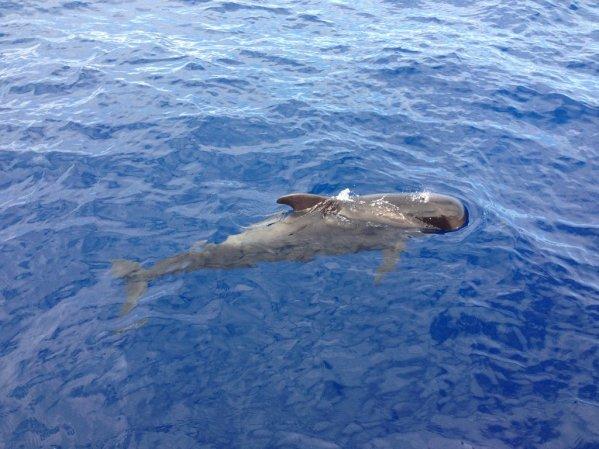 Veľryba (španielsky: ballena) v blízkosti výletnej lode